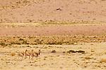 Vicuna (Vicugna vicugna) trio in puna grassland, Abra Granada, Andes, northwestern Argentina