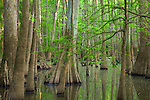 old-growth floodplain forest, Congaree National Park, South Carolina