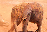 Orphan elephant, David Sheldrick Wildlife Trust, Nairobi.