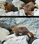 Yellow-Bellied Marmot, Rock Chuck, Marmota flaviventris, Olmsted Point on Tioga Road, Tioga Pass, Yosemite National Park, Composite Image