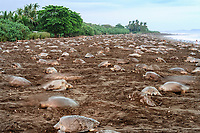 olive ridley sea turtle, Lepidochelys olivacea, females nesting on the beach, arribada or mass nesting event, motion blur, Ostional, Costa Rica, Pacific Ocean