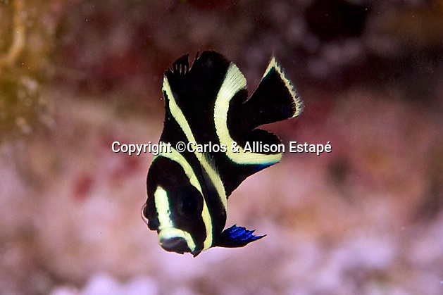 Pomacanthus paru, French angelfish, juvenile, Florida Keys