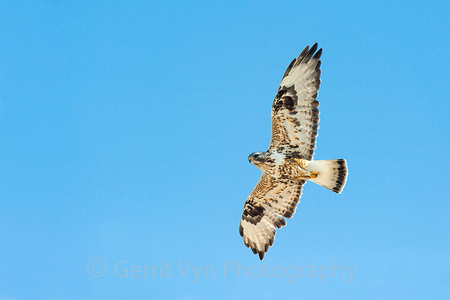 Adult male Rough-legged Hawk (Buteo lagopus) soaring. Seward Peninsula, Alaska. May.