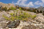 A Whip Snake (Hierophis viridiflavus) basking on granite rocks, Montecristo Island, Tuscany, Italy.