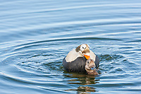 Pair of spectacled eiders breeding in a small tundra pond on Alaska's arctic north slope.