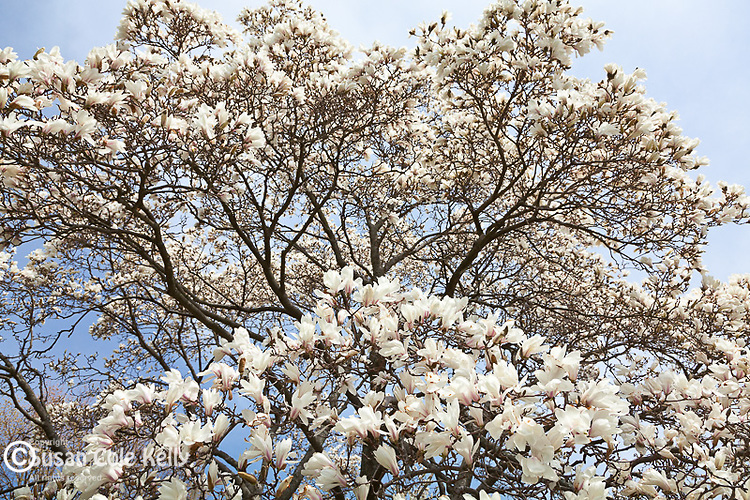 Magnolias bloom in spring at the Arnold Arboretum, part of Boston's Emerald Necklace in the Jamaica Plain neighborhood of Boston, MA, USA