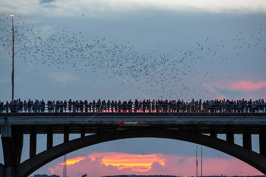 Austin is home to the largest urban colony of Mexican free-tailed bats in North America. Each night, from April to October, an estimated 1,500,000 bats emerge from underneath the Congress Avenue Bridge at sundown on their nightly search for food. Some quick bat facts:<br /> <br /> &bull; The bats made the Congress Avenue Bridge home after it was renovated in 1980. 15 crevices underneath the bridge make the perfect roosts for bats.<br /> &bull; Each night the bats consume about 10,000 - 30,000 pounds of insects.<br /> &bull; The Mexican free-tailed bat is the official &quot;flying mammal&quot; of the State of Texas. I never knew there was such a thing to be official!<br /> &bull; Although the bats can be seen from April through October, the best time to see them is late August or early September, when the babies, or pups, come out with their mamas.