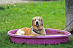 Yellow Lab Cooling Off In Pool