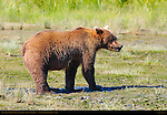 Alaskan Coastal Brown Bear Eating Salmon, Silver Salmon Creek, Lake Clark National Park, Alaska