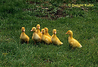 DG20-105z  Pekin Duck - four day old ducklings