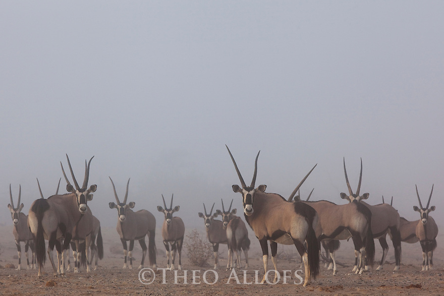 Namibia;  Namib Desert, Hoanib River, Skeleton Coast oryx antelope (Oryx gazella), large group in fog