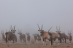 Namibia;  Namib Desert, Hoanib River, Skeleton Coast oryx antelope (Oryx gazella), large group in fog