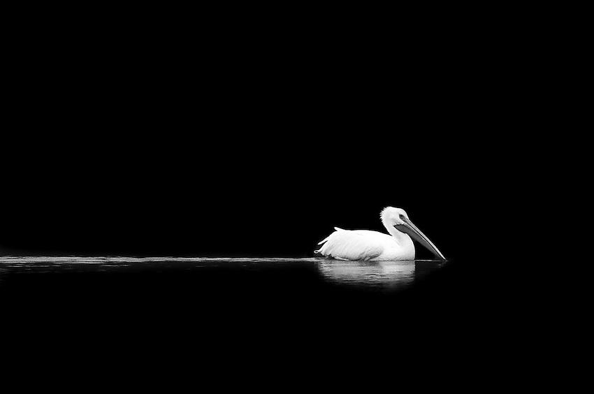 White Pelican, 35mm Film, Irvine