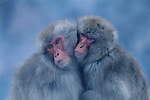 Huddled together and insulated with downy fur, two Japanese macaque or snow monkeys curl into each other to stave off the inevitable chill of a cold winter day in Jigokudani National Park, Japan.