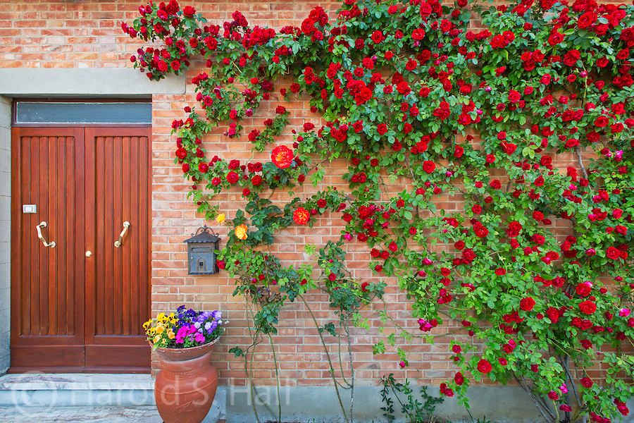 Flowers of all sorts and roses abound in the Tuscany landscape.  The frequent rains and warm weather are ideal for plants and lavishly decorating balconies and entry ways.
