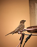 House Finch (female). Image taken with a Nikon D5 camera and 600 mm f/4 VR lens (ISO 450, 600 mm, f/4, 1/1250 sec).