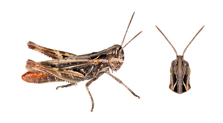 Heath Grasshopper - Chorthippus vagans - male