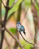 Bee Hummingbird (Mellisuga helenae), male in non-breeding plumage, perched. Cuba