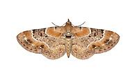 70.150 (1816)<br /> Toadflax Pug - Eupithecia linariata