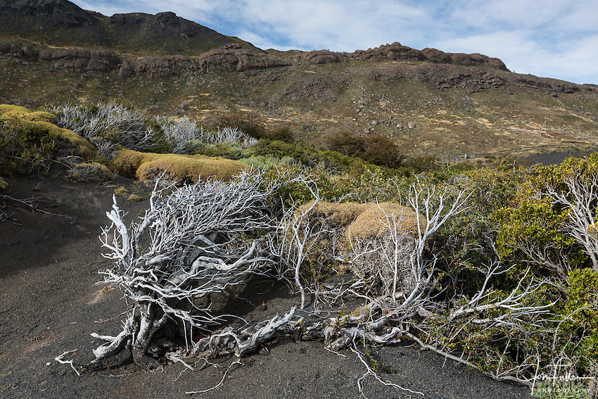 Deadwood skeletons of the Calafate Bush or Box-leaved Barberry or Magellan Barberry (Berberis microphylla).   <br /> The calafate bush is native to southern Chile and Argentina and is a symbol of Patagonia.  A live calafate is to the right.<br /> Torres del Paine National Park in Patagonia, Chile.  A UNESCO World Biosphere Reserve.
