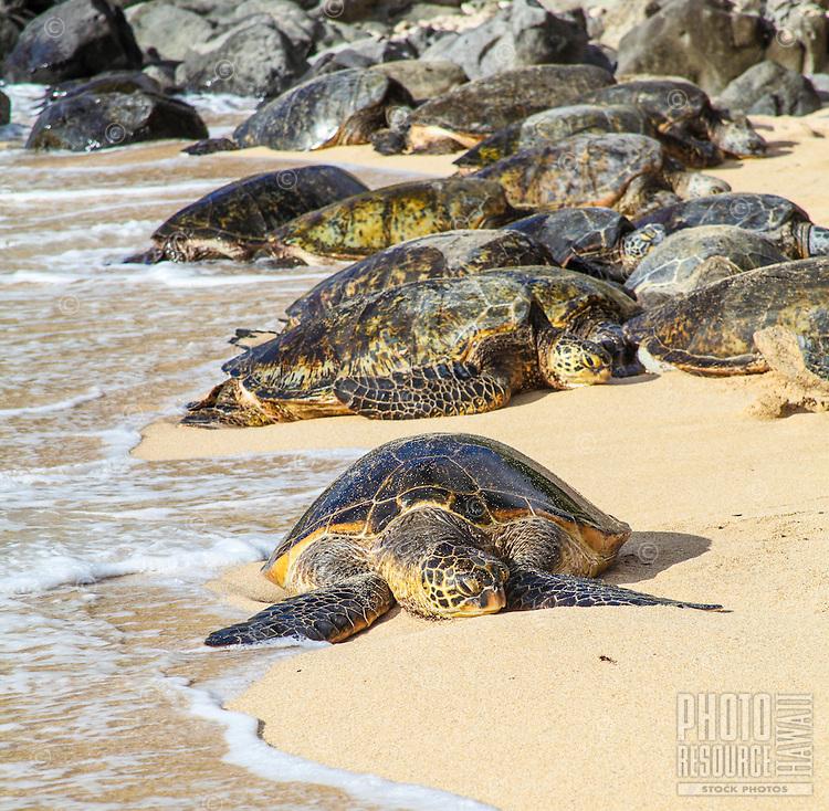 Hawaiian green sea turtles (or honu) rest at Ho'okipa Beach on Maui.