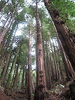 A stand of redwood trees near Muir Woods in Marin County, CA late summer 2007.