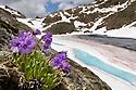 Viscid Primrose {Primula latitolia} in flower growing on mountainside. Wide angle view showing habitat. Nordtirol, Tirol, Austrian Alps, 2600 metres, June.