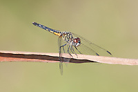 Blue Dasher (Pachydiplax longipennis) Dragonfly - Female, Lakes Regional Park, Fort Myers, Lee County, Florida