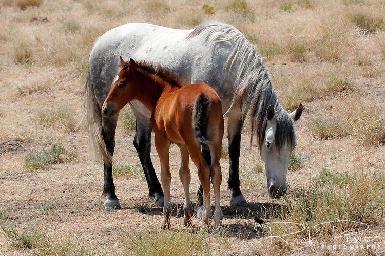 A mare and its colt graze along the Pony Express Trail in Central Utah