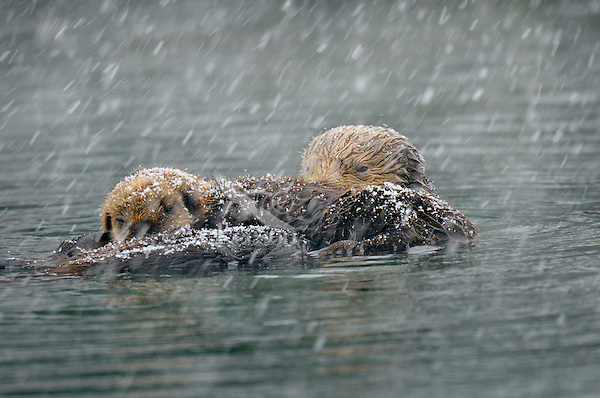 Alaskan or Northern Sea Otter (Enhydra lutris) mom and pup in snowstorm.  Alaska.