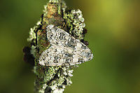 Marbled Beauty - Cryphia domestica