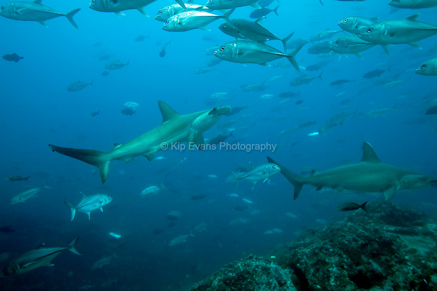 A scalloped hammerhead shark (Sphyma lewini) swims through a school of jack fish at the Cocos Island off the coast of Costa Rica.