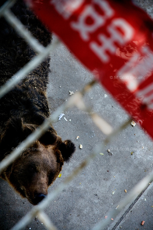 A brown bear in the bear pit at the Tianjin Zoo begs for food thrown from visitors in Tianjin, China.  Visitors threw junk food and plastic bottles at the bear.