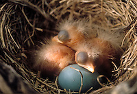 New born American robin chicks and egg in nest. Oakland County, Michigan