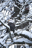 00807-007.05 Bald eagle (Haliaeetus leucocephalus) in snow Chilkat River, Haines   AK