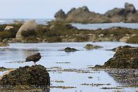 Black Oystercatcher (Haematopus bachmani).  WA.