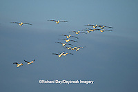 00671-00517 American White Pelicans (Pelecanus erythrorhynchos) in flight Port Aransas Birding Center   TX