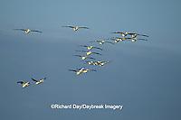 00671-00517 American White Pelicans (Pelecanus erythrorhynchos) in flight Port Aransas Birding Center   TX