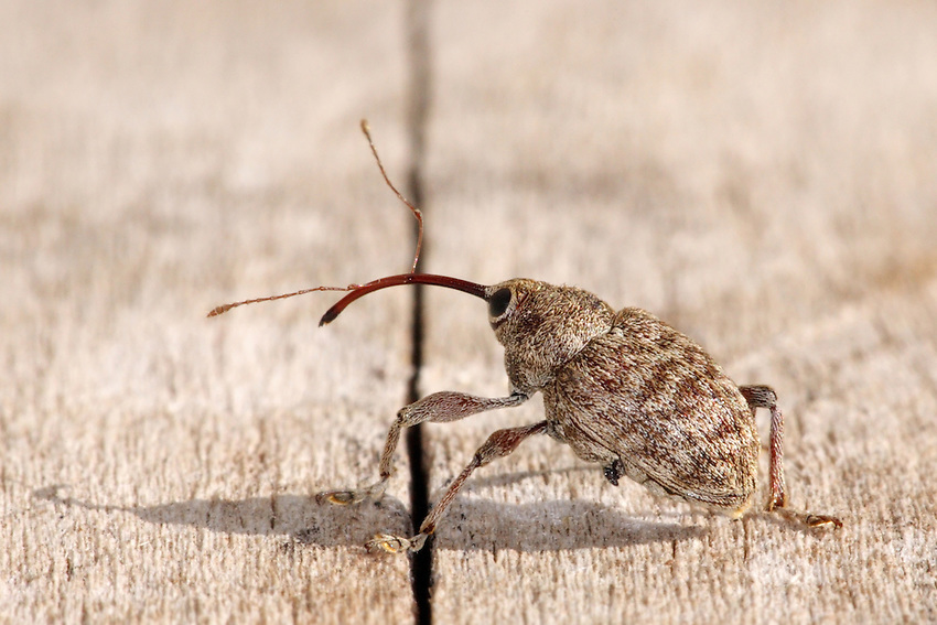 The boll weevil is a beetle measuring six millimeters, which feeds on cotton buds and flowers. National Geographic is using this Boll Weevil in their textbook for American & World History | National Geographic Store (National Geographic Learning).