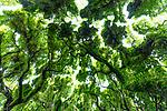 Looking up at the tree canopy at Honolua Bay on the island of Maui, Lahaina, HI, USA