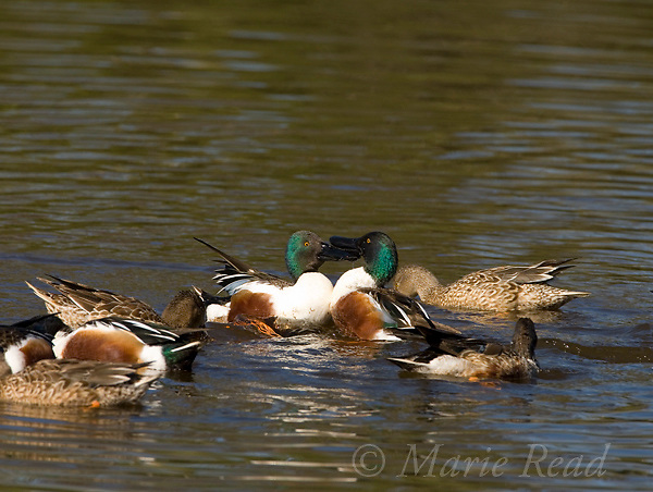 Northern Shovelers (Anas clypeata), two males during aggressive interaction in a feeding group, Huntington Beach, California, USA