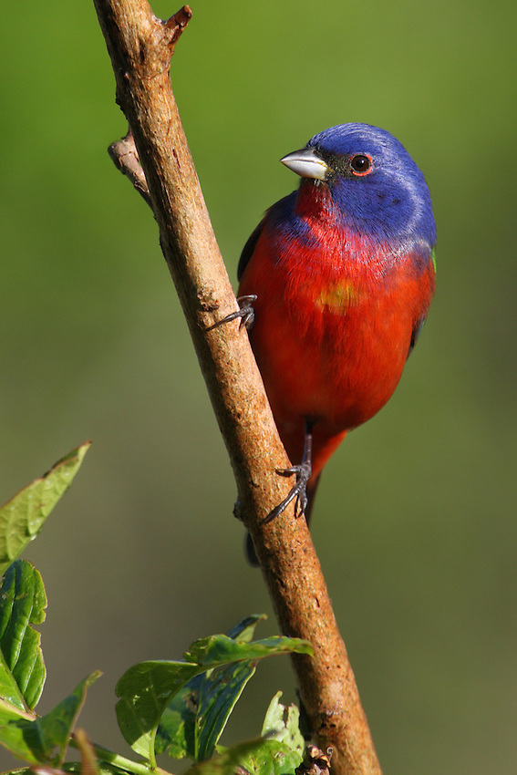 Known as North America's most colorful songbird, this was shot the day before Easter Sunday.