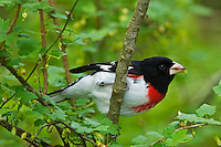 Rose-breasted grosbeak Pheucticus ludovicianus in Carolinian forest<br /> Point Pelee National Park<br /> Ontario<br /> Canada
