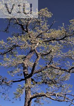 Chihuahua Pine (Pinus leiophylla chihuahuana), Arizona, USA & Sonora, Mexico.