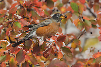 American Robin, Turdus migratorius, male eating berries of Black Hawthorn (Crataegus douglasii) fallcolors snow, Grand Teton NP,Wyoming, USA