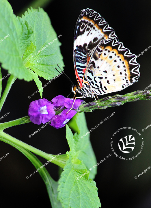 Stock photo: Glanville fritillary butterfly perched on a stem of tiny purple flower.