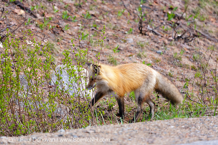Red Fox - Vulpes vulpes - on the side of the Kancamagus Highway (route 112), during the spring months. Located in the White Mountains, New Hampshire USA