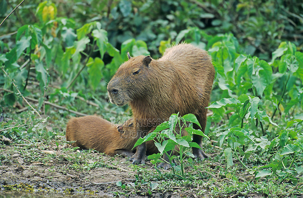 Capybara (Hydrochaeris hydrochaeris), mother with with young, Pantanal, Brazil, South America