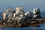 cormorants on rocks near Hopkins Marine lab