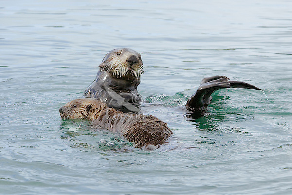 Sea Otter (Enhydra lutris) mother with about a month old pup.